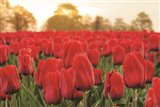 Tulips from Twente