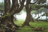 The Old Laurel Trees