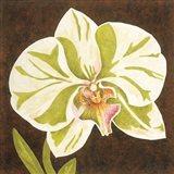 Surabaya Orchid Petites A