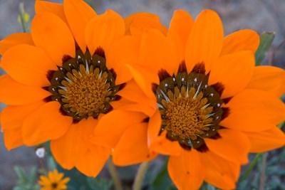 Two orange Spring flowers, South Africa Poster by Ralph H. Bendjebar / Danita Delimont for $91.25 CAD