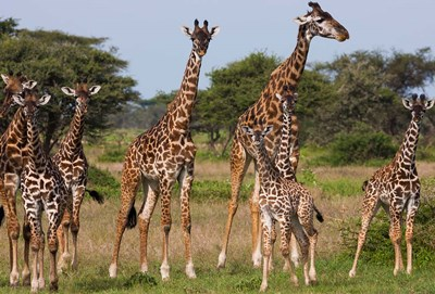Maasai giraffe, Serengeti NP, Tanzania. Poster by Art Wolfe / Danita Delimont for $92.50 CAD
