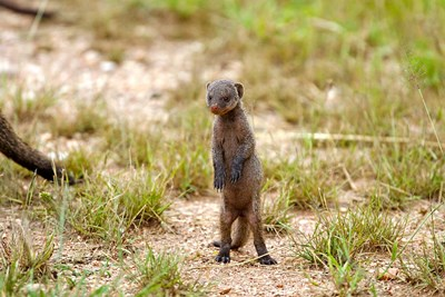 Serengeti, Tanzania, Banded mongoose baby Poster by Joe & Mary Ann McDonald / Danita Delimont for $91.25 CAD