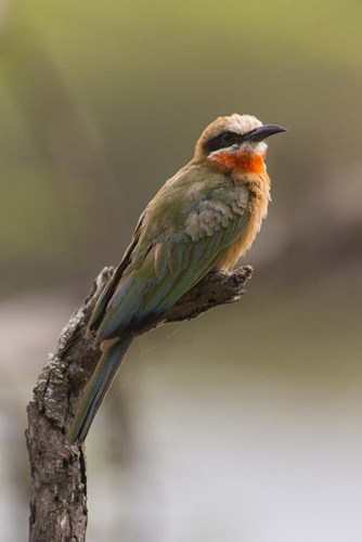 White-Fronted Bee-Eater, Serengeti National Park, Tanzania Poster by Ralph H. Bendjebar / Danita Delimont for $42.50 CAD