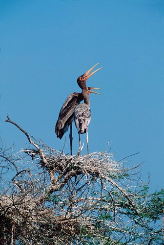 A pair of Painted Stork in a tree, India Poster by Dee Ann Pederson / Danita Delimont for $102.50 CAD