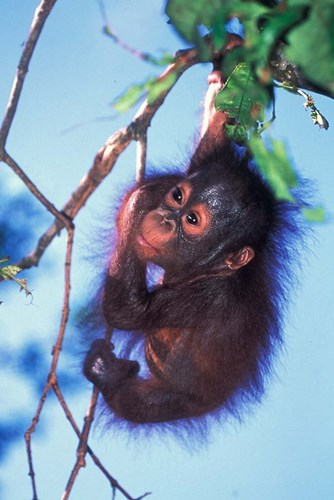 Baby Orangutan, Tanjung Putting National Park, Indonesia Poster by Keren Su / Danita Delimont for $75.00 CAD