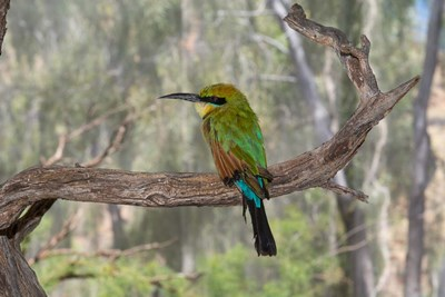 Australia, Alice Springs Alice Springs Desert Park Rainbow Bee-Eater Poster by Cindy Miller Hopkins / DanitaDelimont for $47.50 CAD