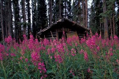 Abandoned Trappers Cabin Amid Fireweed, Yukon, Canada Poster by Paul Souders / Danita Delimont for $76.25 CAD