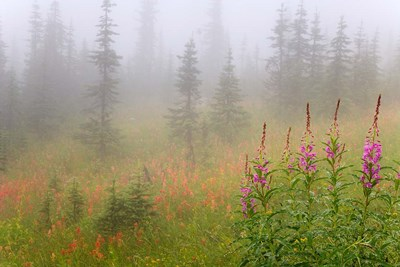 Misty Meadow Scenic, Revelstoke National Park, British Columbia, Canada Poster by Jaynes Gallery / Danita Delimont for $72.50 CAD