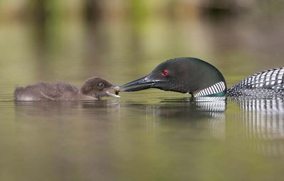 Canada, British Columbia A Common Loon & Chick At Lac Le Jeune Poster by Gary Luhm / Danita Delimont for $41.25 CAD