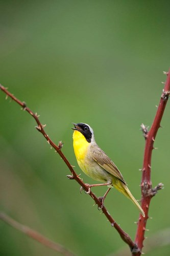 Canada, Quebec, Mount St Bruno Conservation Park Common Yellowthroat Singing Poster by Jaynes Gallery / Danita Delimont for $42.50 CAD