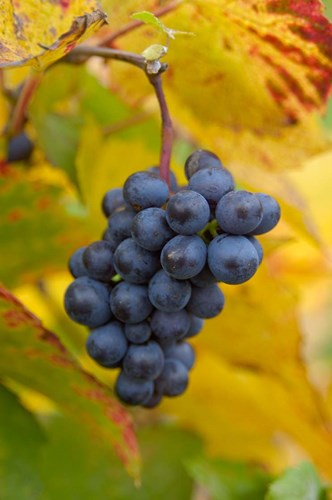 Beaujolais Red Grapes in Autumn Poster by Lisa S. Engelbrecht / Danita Delimont for $76.25 CAD