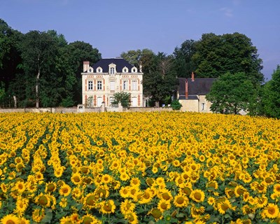 Sunflowers and Chateau, Loire Valley, France Poster by Paul Thompson / Danita Delimont for $85.00 CAD