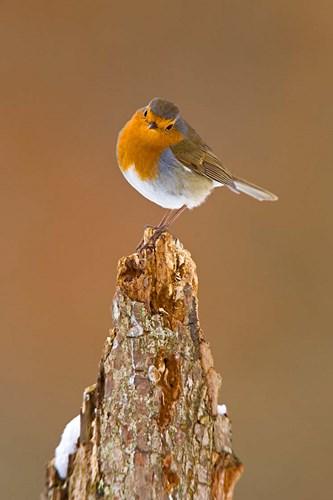 UK, Robin bird on tree stump, Winter Poster by David Slater / Danita Delimont for $88.75 CAD