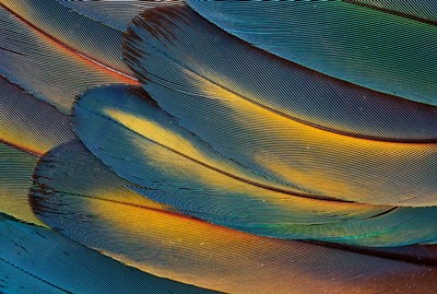 Scarlet Macaw Wing Feathers Fan Design Poster by Darrell Gulin / Danita Delimont for $42.50 CAD