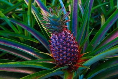 Pineapple, Fiji Poster by Douglas Peebles / Danita Delimont for $45.00 CAD