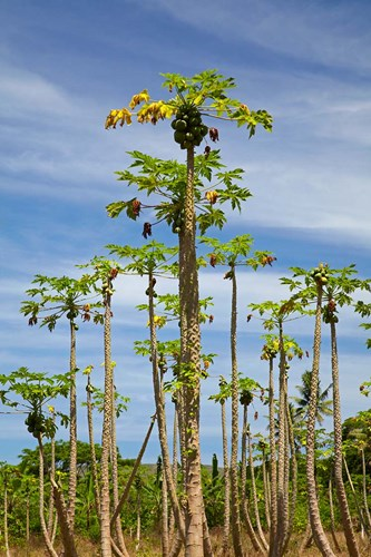 Pawpaw (papaya) plantation, Lower Sigatoka Valley, Sigatoka, Coral Coast, Viti Levu, Fiji Poster by David Wall / Danita Delimont for $43.75 CAD