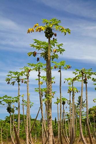 Pawpaw (papaya) plantation, Lower Sigatoka Valley, Sigatoka, Coral Coast, Viti Levu, Fiji Poster by David Wall / Danita Delimont for $43.75 CAD