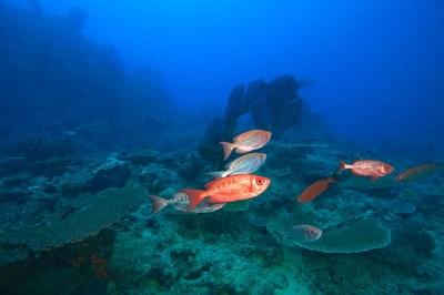 Bigeye Fish near Beqa Island, Viti Levu, Fiji Poster by Stuart Westmorland / Danita Delimont for $40.00 CAD