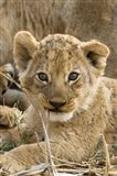Okavango Delta, Botswana A Close-Up Of A Lion Cub