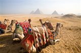 Egypt, Cairo, Camels, desert sands of Giza Pyramids