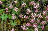 Helichrysum Meyeri-Johannis Bale Mountains National Park Ethiopia
