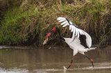 Saddle-Billed Stork, with Fish, Kenya