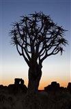 Quiver Tree Forest, Kokerboom at Sunset, Keetmanshoop, Namibia