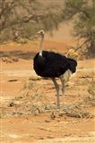 Sossusvlei Male Ostrich, Namib-Naukluft National Park,  Namibia