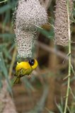 Male Masked Weaver Building a Nest, Namibia
