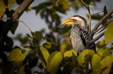 Etosha National Park, Namibia, Yellow-Billed Hornbill Perched In A Tree