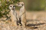 Namibia, Keetmanshoop, Namib Desert, Pair of Meerkats