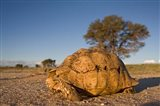 South Africa, Leopard Tortoise, Kalahari Desert