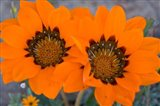 Two orange Spring flowers, South Africa