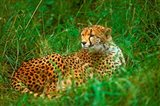 Cheetah Lying In Grass On The Serengeti