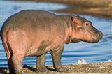 Reddish Very Young Hippo Stands On Shoreline Of Lake Ndutu