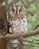 Tanzania. African Scops Owl at Tarangire NP.