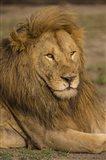 Male African Lion at Ndutu, Serengeti National Park, Tanzania