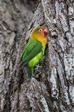 Fischer's Lovebird in Serengeti National Park, Tanzania