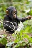 Uganda, Kibale National Park, Infant Chimpanzee