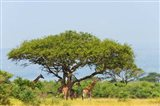 Giraffes Under an Acacia Tree on the Savanna, Uganda