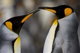 Antarctica, South Georgia, King Penguin Pair