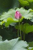 Lotus in a pond, Suzhou, Jiangsu Province, China