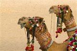 Decorated Camel in the Thar Desert, Jaisalmer, Rajasthan, India
