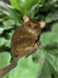 Close-up of Tarsier on Limb, Bali, Indonesia