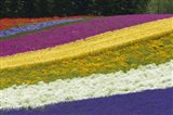 Colorful Flowers in a Lavender farm, Furano, Japan