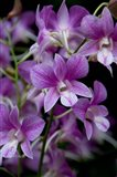 Singapore. National Orchid Garden - Purple/White Orchids