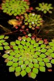 Geometric Plant, Cairns Botanic Gardens, Queensland, Australia
