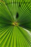 Pattern On Palm Leaf, Cairns Botanic Gardens, Queensland, Australia