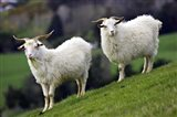 Pair of Goats, Taieri, South Island, New Zealand