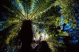 Tree Ferns, Catlins, South Island, New Zealand